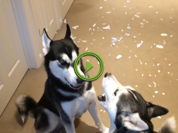 Two dogs argue over who made the mess (Video)