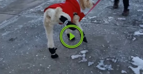 Confused Dog Struggled To Walk In Snow Boots (Video)