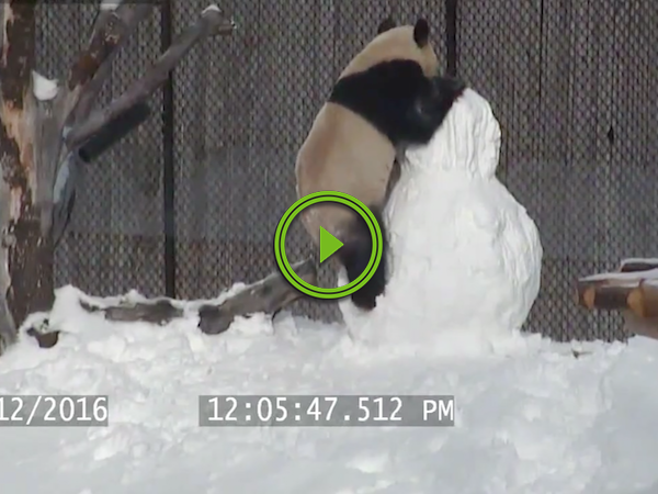 Zoo fight club sees Da Mao the panda vs da snowman (Video)