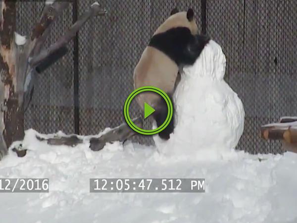 Zoo fight club sees Da Mao the panda vs da snowman (Video)