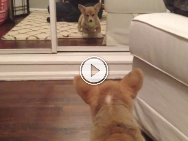 Puppy sees reflection for first (and last?) time