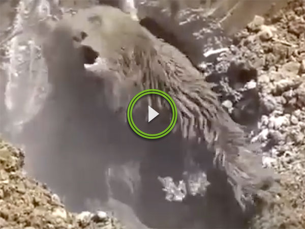 Incredible footage of bear freed from septic tank by excavator (Video)