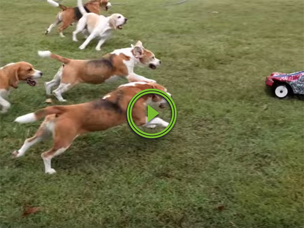 Beagles play with remote control car in backyard