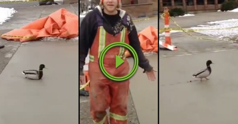 Duck ruins wet concrete much to the dismay of workers (Video)