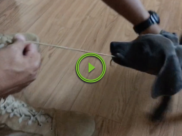 Adorable Puppy Wont Let Soldier Put On His Boots