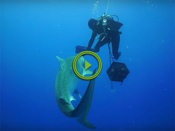 Diver has close encounter with Tiger Shark (Video)
