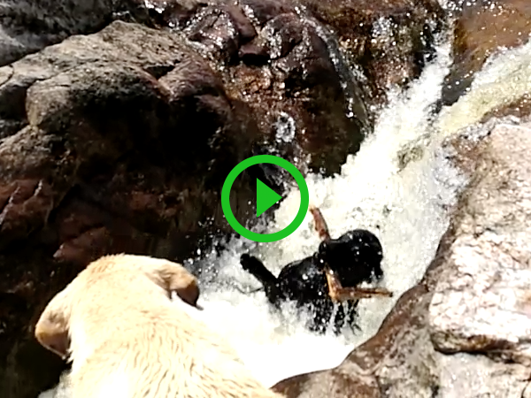 Dog saves another dog from getting swept down stream (Video)