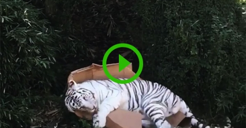 Big cat takes a liking to a box (Video)