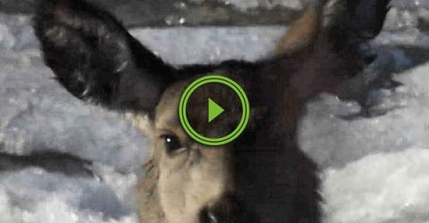 Deer rescued from frozen river (Video)