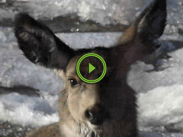 Deer rescued from frozen river (Video)