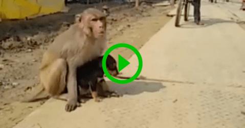 Adorable monkey adopts puppy