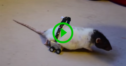 Man builds wheelchair for his pet rat (Video)