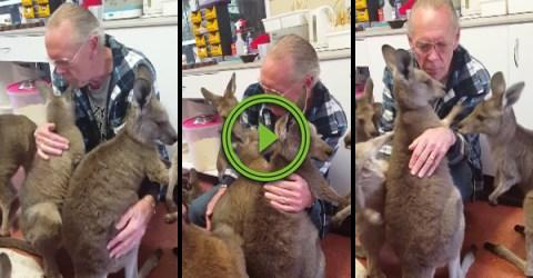 Kangaroos at an animal shelter try to hug caretaker