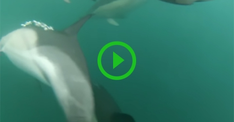 Fisherman captures dolphins hunting right underneath his boat