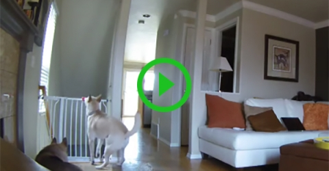 A dog falls down the stairs after trying to jump over railguard