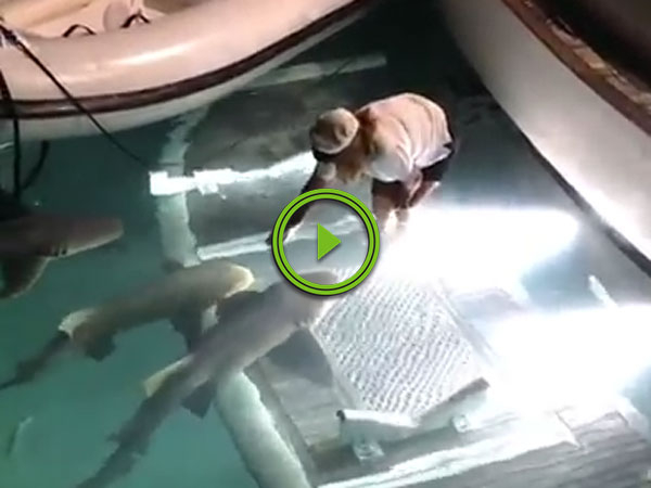 Sharks get petted by someone in a yacht (Video)