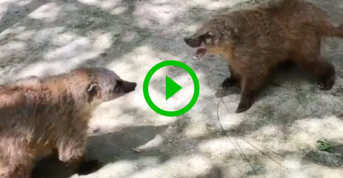 Two Russian Nosuhs have an adorable argument (Video)