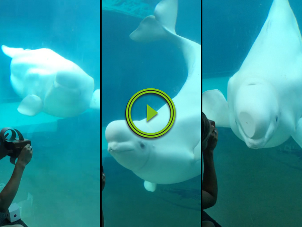 Adorable baby beluga whale dances to music box (Video)