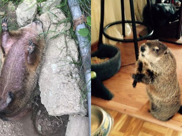 Blind woodchuck saved from death is too cute (13 Photos)