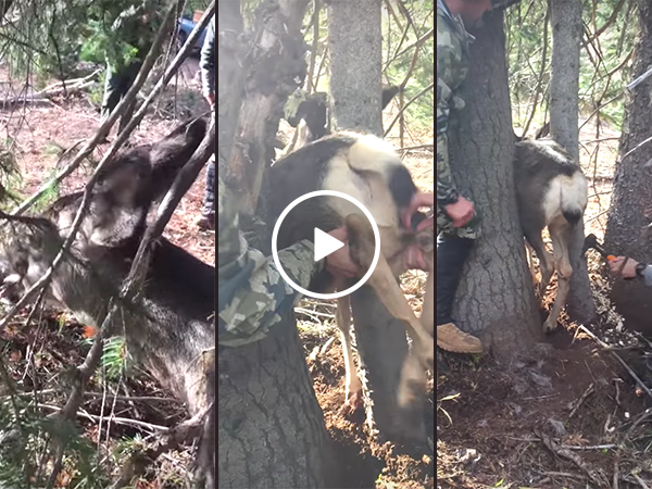 Deer freed from between two trees by hunters (Video)