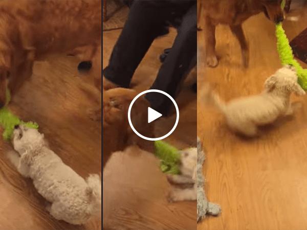 Little dog vs Big dog in a tug of war (Video)