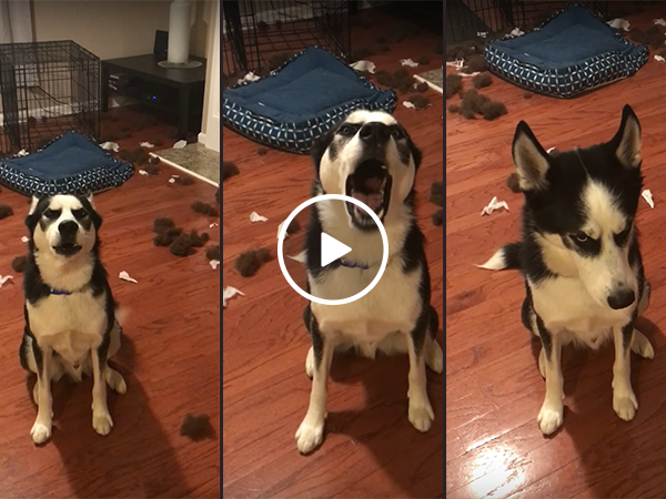 Husky has argument with owner over bedroom (Video)