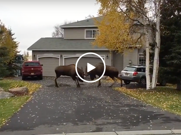 Two moose clash on a driveway in Alaska (Video)