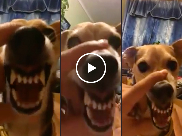 Dog's growl is terrifyingly fantastic (Video)