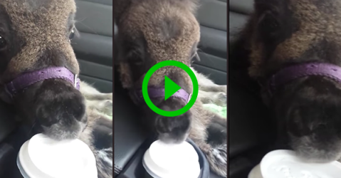 Mini-Horse chews on a coffee cup lid (Video)