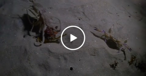 Octopus hunting a crab gets ninja'd by seal