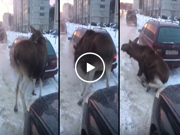 Moose sits down in front of car on the road