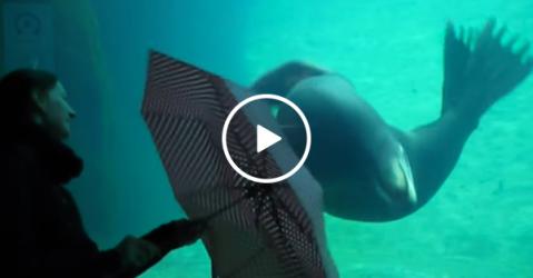 Sea Lion at aquarium mesmerised by umbrella (Video)