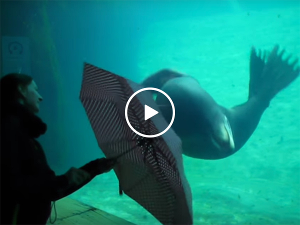 Sea Lion at aquarium mesmerised by umbrella (Video)