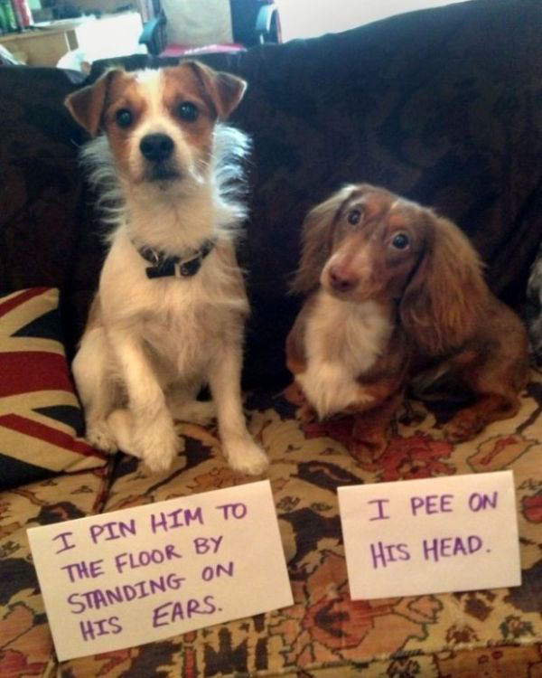 theres no shame in dogshaming 20 photos 27 These dogshamed dogs have no shame (20 Photos)
