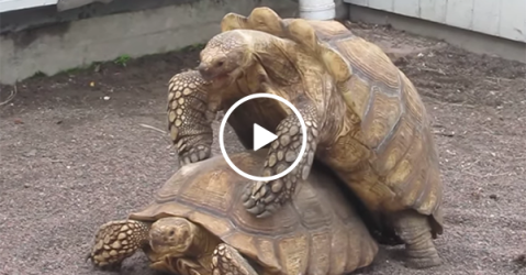 Two tortoises' having weird loud sex (Video)