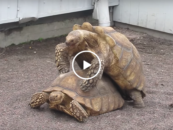 Two tortoises' having weird loud sex (Video)