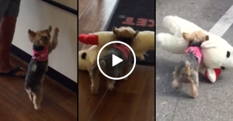 Dog gets a new toy and can't contain it's excitement (Video)
