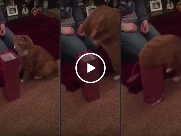 Ginger cat has a cute dive into a wine bag (Video)