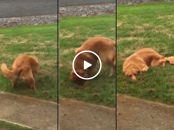 Dog busted trying to dig hole in front yard (Video)