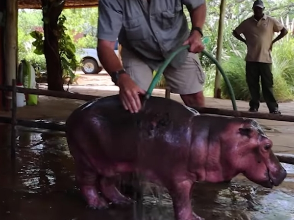Adorable baby hippo stuck in mud pit is rescued and given a happy life