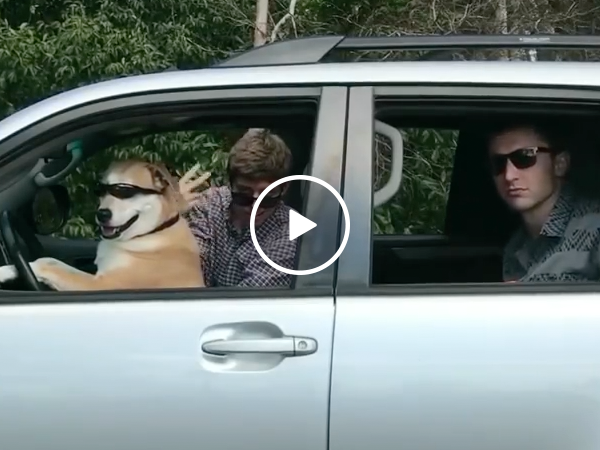 Duber is the new dog driven uber (Video)
