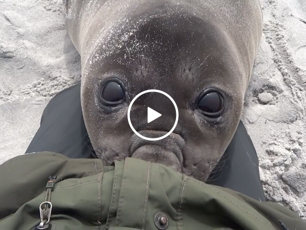 Adorable seal demands cuddles (Video)
