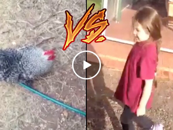Rooster chases little girl out of yard (Video)