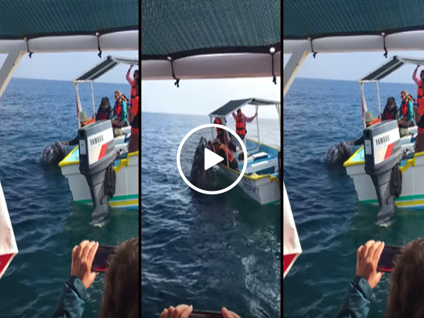 Baby whale hangs out with tourist boat