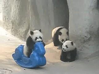0f7fd275b300a3b4ecd4e7d8281a69f03 Pandas: The Animal Kingdoms most adorable doofus (17 GIFs)