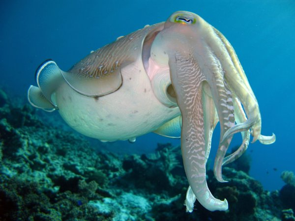 Some interesting facts about Cuttlefish (18 GIFs)