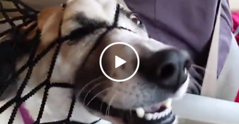 Hilarious dog pushes face through car barrier for attention (Video)