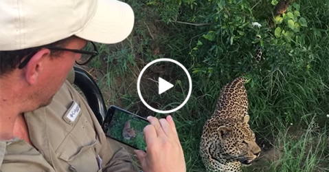 An incredible up close encounter with a wild Leopard (Video)