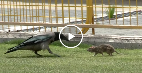 Crow and rat get in a fight