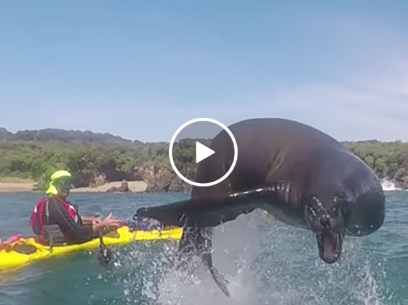 Sea lion makes giant leap over kayakers